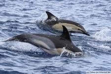 Azoren-Gemeiner-Delfin-Sprung