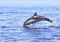 Common-Dolphin-Azoren