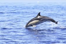 Common-Dolphin-Azoren