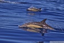 Common-Dolphin-Azores