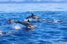 Delfine Gruppe im Atlantik