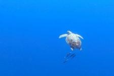 Meeresschildkröte auf den Azoren