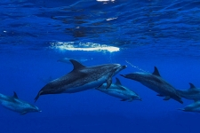 Atlantic Spotted Delfine unter Wasser