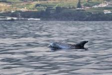 Risso Dolphin auf den Azoren, Sao Miguel