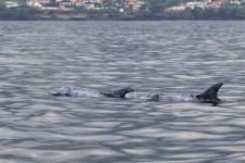 Risso Dolphins auf den Azoren, Sao Miguel