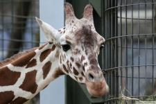 Kölner Zoo - Giraffe