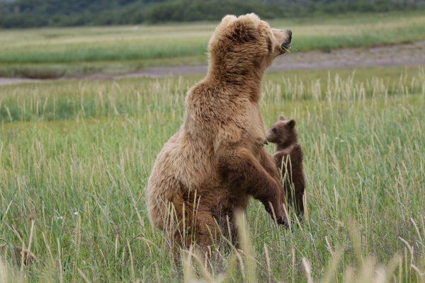 Alaska Reisebericht Teil 2: Ausflüge zu den Küsten Braunbären