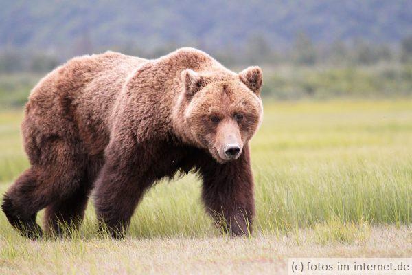 Braunbär - Infos, Lebensraum, Fortpflanzung und Bilder