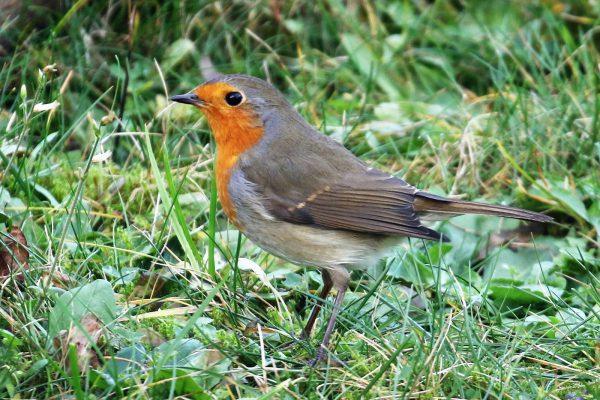 Singvögel: Rotkehlchen, Infos und Bilder