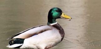 Bild einer Ente