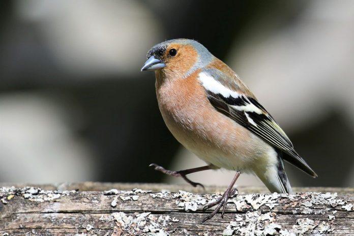 Einheimischer Singvogel: Der Buchfink