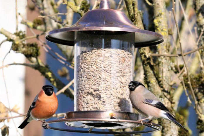 Welche Vögel fressen Sonnenblumenkerne?