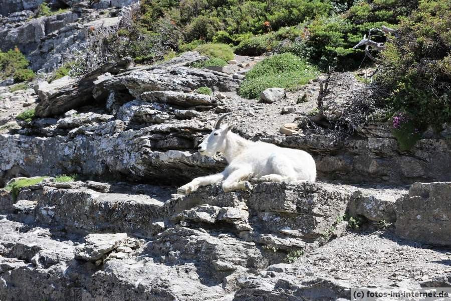 Mountain Goat (Bergziege)