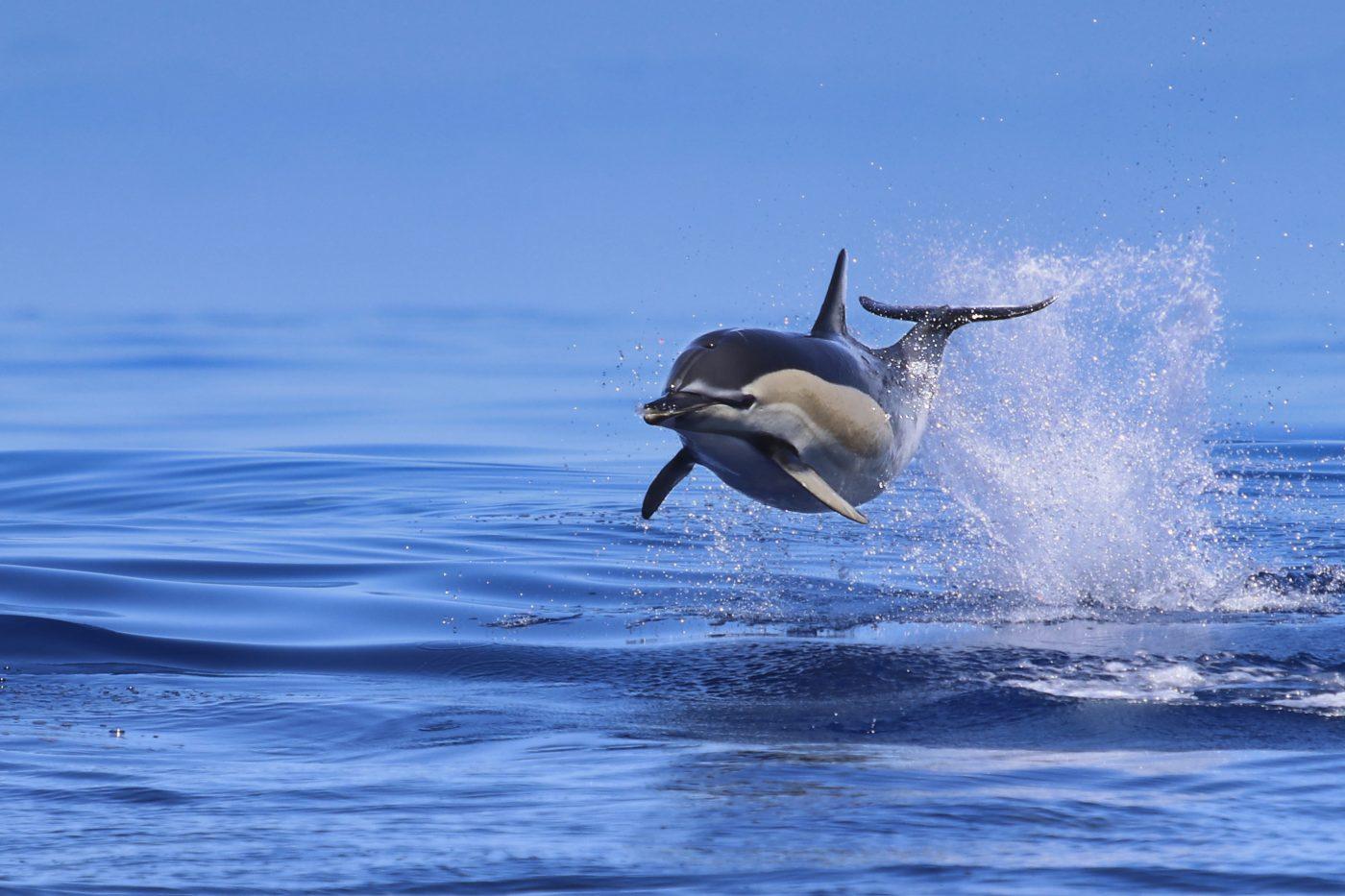 Azoren Reisebericht - Gemeiner Delfin beim Whale Watching