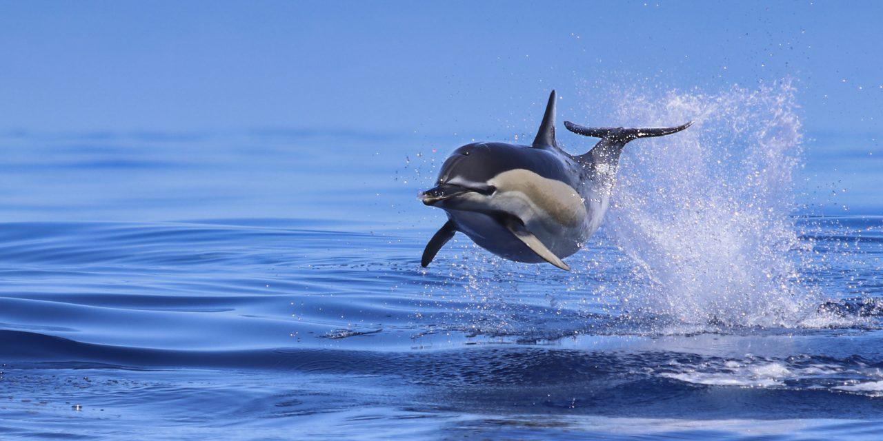 Gemeiner Delfin (Common Dolphin)