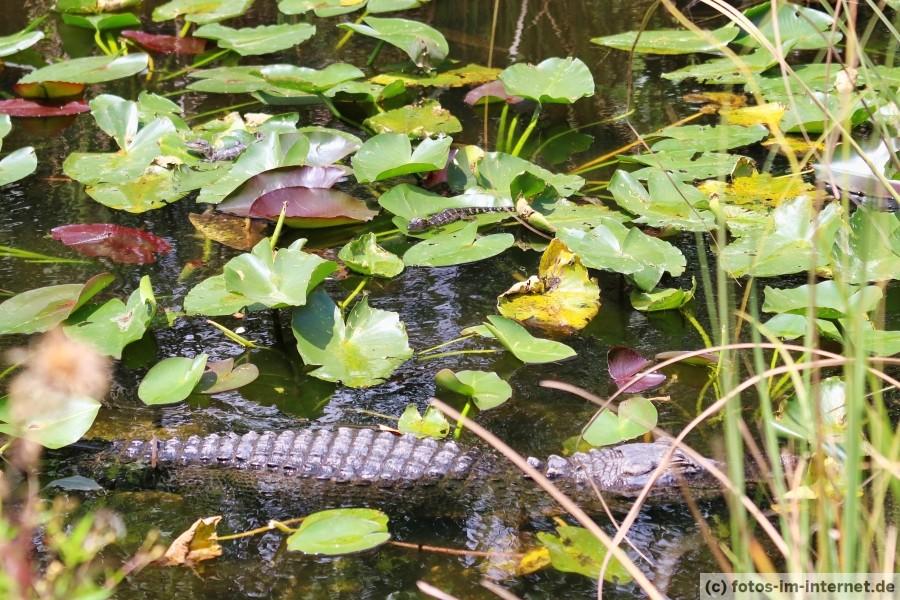 Alligator mit Jungtieren
