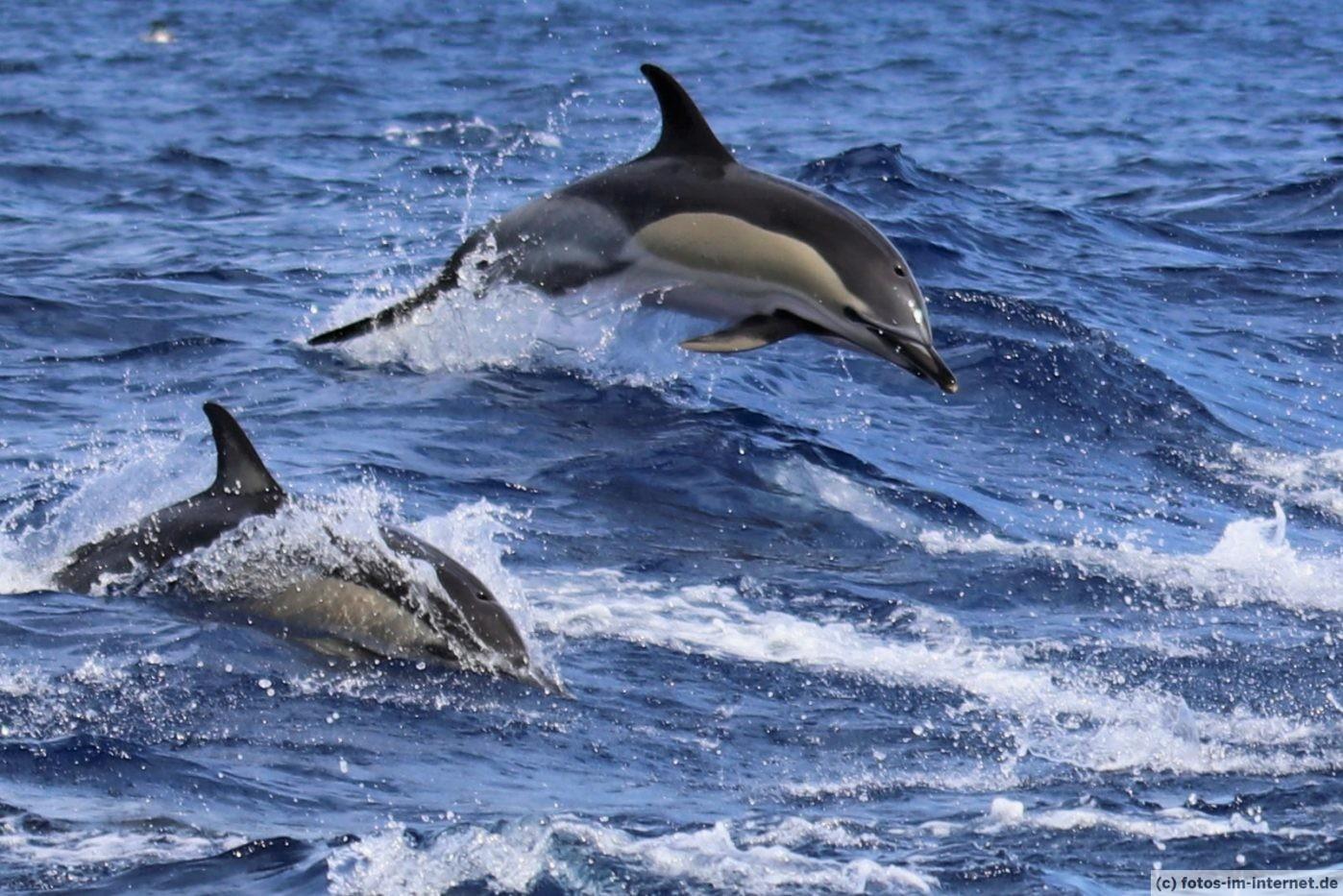 Azoren Urlaub - Zwei springende Delfine