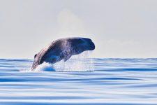 Whale Watching auf den Azoren - Pottwal
