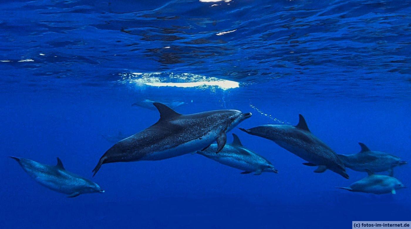 Azoren Reisebericht - Atlantic Spotted Delfine