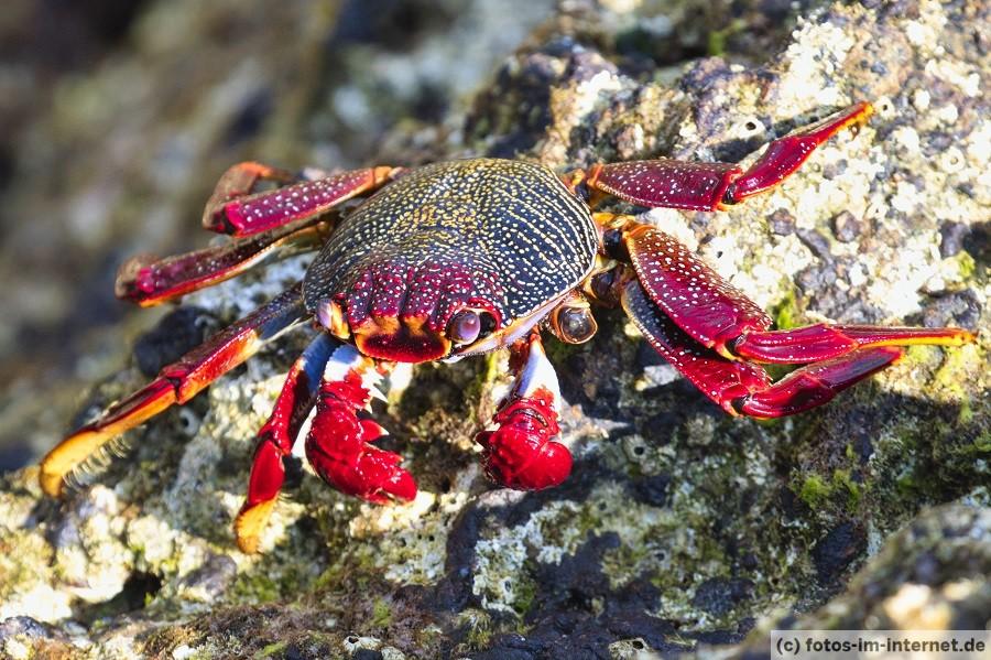 Azoren Reisebericht - Rote Klippenkrabbe