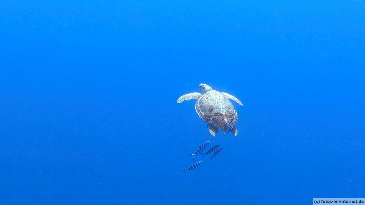 Azoren Reisebericht - Meeresschildkröte