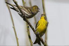 Girlitz Männchen und Weibchen