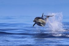 Whale Watching auf den Azoren - Common Dolphin