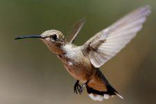 Kolibri - Akrobaten der Lüfte, Bilder und Infos