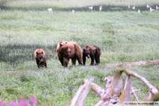 Braunbären in Haines, Chilkoot River