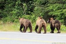 Braunbären in Haines