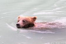 Braunbär in Haines, Chilkoot Lake