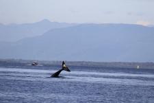 Orca / Killerwal