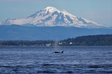 Vancouver Island, Mt. Baker, Orca