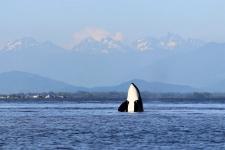 Orca / Killerwal Spyhop Bild
