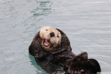 Seeotter