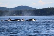 Vancouver Island, Killerwale