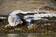 Seelöwe mit Jungtier
